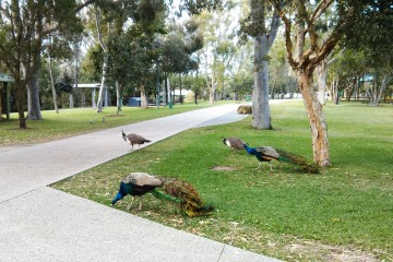 peacocks male & females