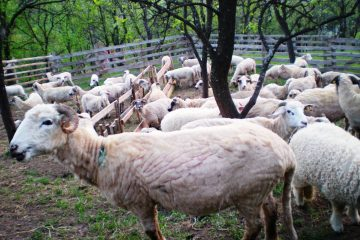 Skinny sheep