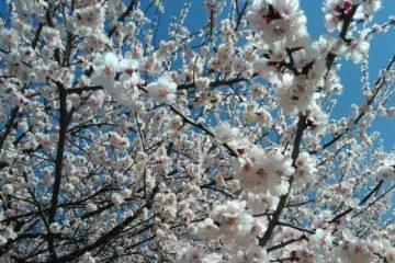 whit blossom2