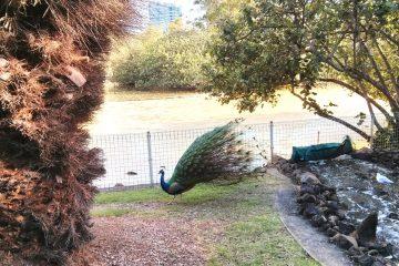 5-on-tree-peacocks-2